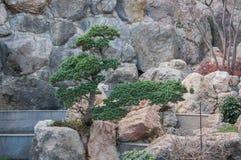 Bonsai på en stenig lutning Arkivbild