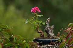Bonsai Pelargonium whid czerwieni kwiaty Fotografia Stock