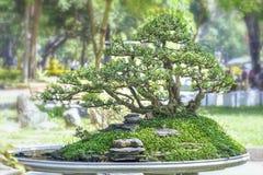 Bonsai and Penjing Royalty Free Stock Photos