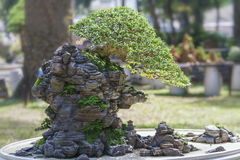 Bonsai and Penjing Stock Photography