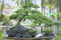 Bonsai and Penjing Stock Photo
