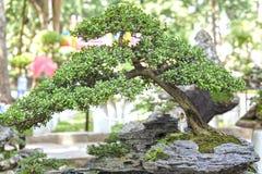 Bonsai and Penjing Royalty Free Stock Image