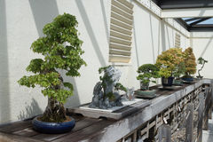 Bonsai and Penjing Tree Garden. Exhibit in a museum of the art form royalty free stock photography