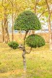 bonsai piękny drzewo Zdjęcia Royalty Free