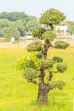 bonsai piękny drzewo Fotografia Royalty Free