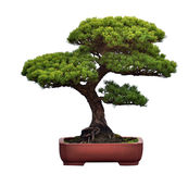 Bonsai of pine. A bonsai of pine in pot Stock Photo