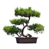 Bonsai of pine Stock Images