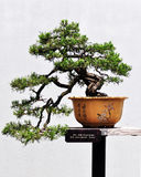 Bonsai of pine stock photography
