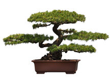 Bonsai of pine Stock Photography