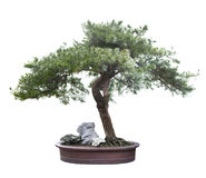 Bonsai  pine Stock Images