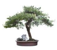 Bonsai  pine. Green bonsai tree isolated on white Stock Images