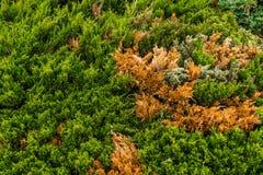 Bonsai of pine Royalty Free Stock Photography