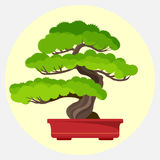 Bonsai pine decorative small tree growing in container vector illustration Royalty Free Stock Images