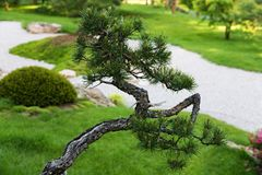 Bonsai pine Royalty Free Stock Photos