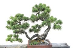 Bonsai of a pine in pot Stock Image