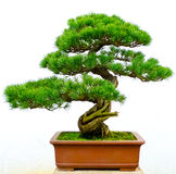 Bonsai pine tree. Against a white wall