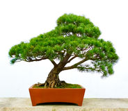 Bonsai pine tree Royalty Free Stock Image