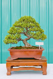 Bonsai pine tree against a green wall Royalty Free Stock Photos
