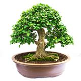 Bonsai pine tree against Royalty Free Stock Image