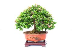 Bonsai pine tree Royalty Free Stock Photos