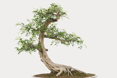 Bonsai pine tree Stock Image
