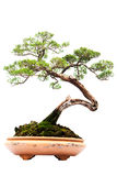 Bonsai pine tree against Royalty Free Stock Photography