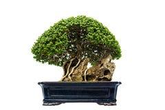 Bonsai pine tree against Stock Photography