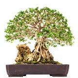 Bonsai pine tree against Stock Photo