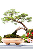 Bonsai pine tree against Stock Images