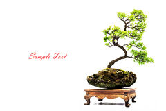 Bonsai pine tree Royalty Free Stock Photos