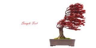 Bonsai pine tree Royalty Free Stock Photography