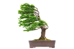 Bonsai pine tree. Against a white wall Stock Photo