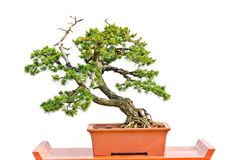 Bonsai pine tree against a white wall Royalty Free Stock Photography