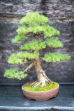 Bonsai pine tree Stock Photo