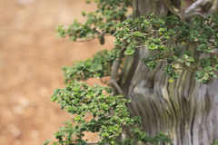 Bonsai pine tree. With a brown nature background Royalty Free Stock Photo