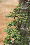 Bonsai pine tree. With a brown nature background Royalty Free Stock Image