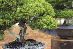 Bonsai pine tree. In a ceramic pot Stock Photography