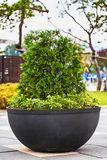 Bonsai pine tree in ceramic pot Stock Images