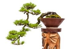 Bonsai pine tree in ceramic pot Stock Photos