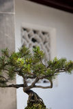 Bonsai Pine tree at Chinese Garden Royalty Free Stock Photography