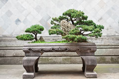 Bonsai pine tree Royalty Free Stock Photo