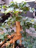 bonsai pine tree stock photography