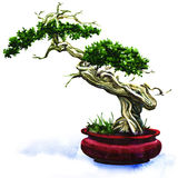 Bonsai pine tree isolated Royalty Free Stock Photography