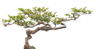 Bonsai pine tree. Bonsai tree, isolated on white background Royalty Free Stock Photos