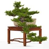 Bonsai pine tree in a pot Stock Photos