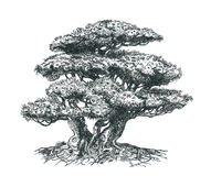 Bonsai pine-tree with roots. Pen drawing. Illustration of a small bonsai Royalty Free Stock Photo