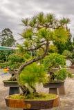 Bonsai pine trees in a pot Stock Photos