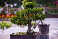 Bonsai pine trees in a pot in park of flowers in Dalat, Vietnam Stock Images