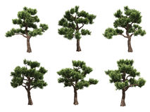 Bonsai pines Royalty Free Stock Photography