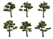 Bonsai pines Stock Images
